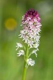 orchidea di Bruciare-punta - ustulata di Neotinea Immagine Stock