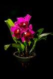 Orchidea di Cattleya Immagini Stock
