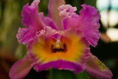 Orchidea di Cattleya del pagliaccio Fotografia Stock Libera da Diritti