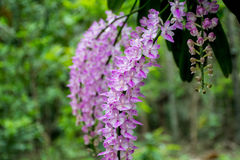 Orchidea di coda di volpe con piena fioritura Fotografie Stock Libere da Diritti