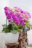 Orchidea di farfalla immagini stock