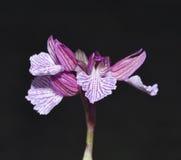 Orchidea di farfalla rosa Fotografia Stock Libera da Diritti