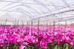 Orchidea di farfalla in serre fotografia stock libera da diritti