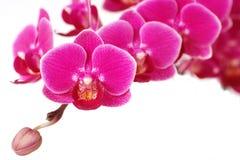 Fiore dell 39 orchidea blu immagine stock immagine di fiore for Orchidea fioritura