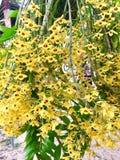 Orchidea di friedericksianum del Dendrobium fotografie stock