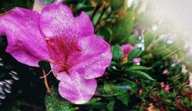 Orchidea di Jiucy fotografia stock libera da diritti