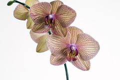 Orchidea di Kaleidescope del Baldan Immagini Stock Libere da Diritti