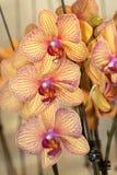 Orchidea di lepidottero fotografia stock