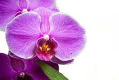 Orchidea di lepidottero isolata Fotografia Stock