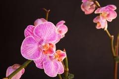 Orchidea di lepidottero (orchidaceae di Phalaenopsis) Fotografia Stock