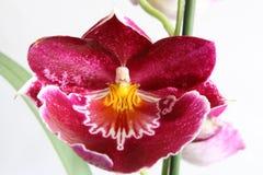 Orchidea di Miltoniopsis Fotografia Stock Libera da Diritti
