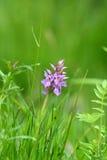 Orchidea di palude del sud Fotografie Stock