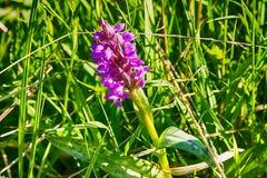 Orchidea di palude sul prato immagini stock libere da diritti