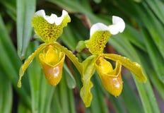 Orchidea di pantofola Immagine Stock Libera da Diritti