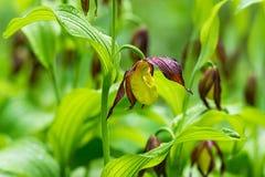 Orchidea di pantofola di signora - calceolus del Cypripedium Fotografie Stock Libere da Diritti