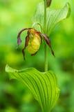 Orchidea di pantofola di signora - calceolus del Cypripedium Immagini Stock Libere da Diritti
