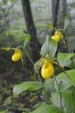 Orchidea di pantofola gialla di Ladys Fotografie Stock Libere da Diritti
