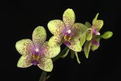 Orchidea di Phalaenopsis Fotografie Stock Libere da Diritti