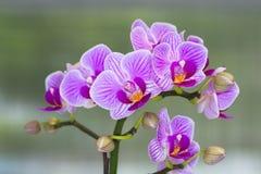 Orchidea di phalaenopsis. Immagini Stock