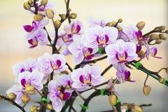 Orchidea di phalaenopsis. Fotografie Stock Libere da Diritti
