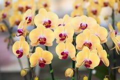 Orchidea di phalaenopsis. Fotografia Stock Libera da Diritti