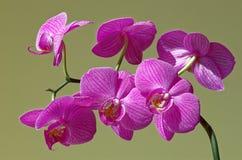 Orchidea di phalaenopsis in fioritura con fondo verde chiaro Fotografie Stock