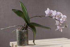 Orchidea di phalaenopsis (orchidea di farfalla) Fotografie Stock