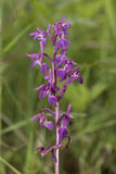 Orchidea di porpora iniziale, mascula di orchis, verso la conclusione della sua stagione di fioritura Fotografia Stock Libera da Diritti