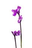 Orchidea di prato - morio di Orchis Fotografia Stock Libera da Diritti