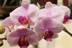 Orchidea di sguardo della ciliegia Fotografia Stock