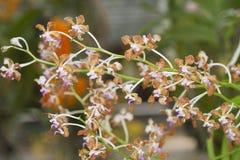Orchidea di specie Fotografia Stock