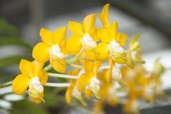 orchidea di specie. Fotografia Stock Libera da Diritti