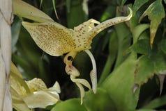 Orchidea di Stanhopea del Occhio-punto Fotografia Stock
