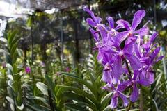 Orchidea di Violet Dendrobium in azienda agricola Fotografia Stock Libera da Diritti