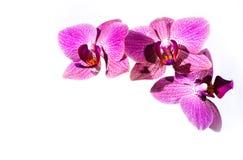 Orchidea do rosa de Brigh Imagens de Stock Royalty Free