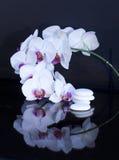 orchidea dryluje whis biały fotografia stock