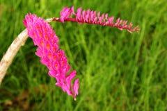 orchidea dzika Obraz Royalty Free