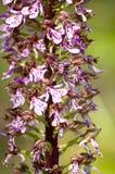 orchidea dzika Zdjęcie Royalty Free