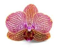 Orchidea elegante Fotografia Stock