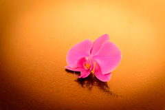 Orchidea elegante Fotografia Stock Libera da Diritti