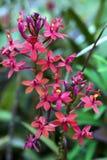 Orchidea Epidendrum genus zapoczątkowywa od Ameryki Zdjęcia Royalty Free