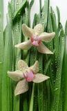 Orchidea in fogli con le gocce della pioggia Fotografia Stock Libera da Diritti