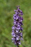 Orchidea fragrante Fotografia Stock