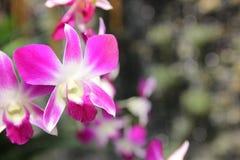 Orchidea fresca Immagini Stock