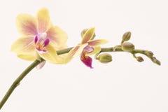 Orchidea gialla fotografia stock libera da diritti