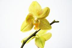 Orchidea gialla Fotografie Stock