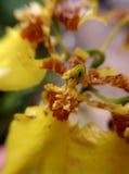 Orchidea gialla Fotografia Stock