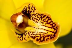 Orchidea gialla che guarda il centro del fiore e dei suoi pistilli fotografia stock