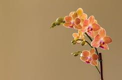 Orchidea gialla con le bande rosse, con splendere leggero dalla sinistra Fotografie Stock Libere da Diritti