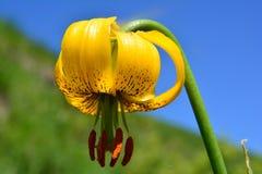 Orchidea gialla davanti al cielo blu ed al prato verde Fotografie Stock Libere da Diritti
